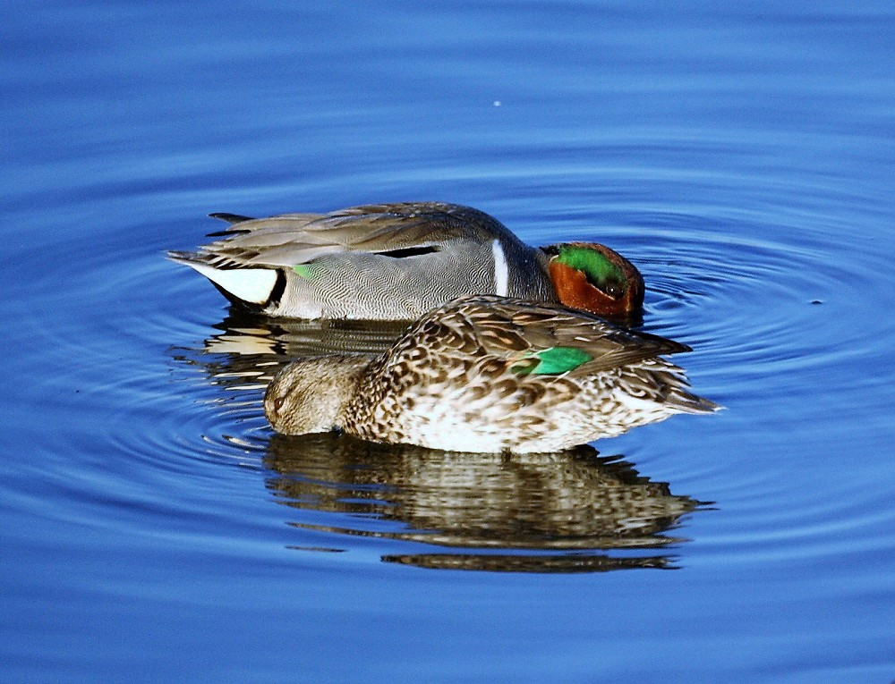 Green Wing Teal are commonly found along the Pacific Northwest Coast