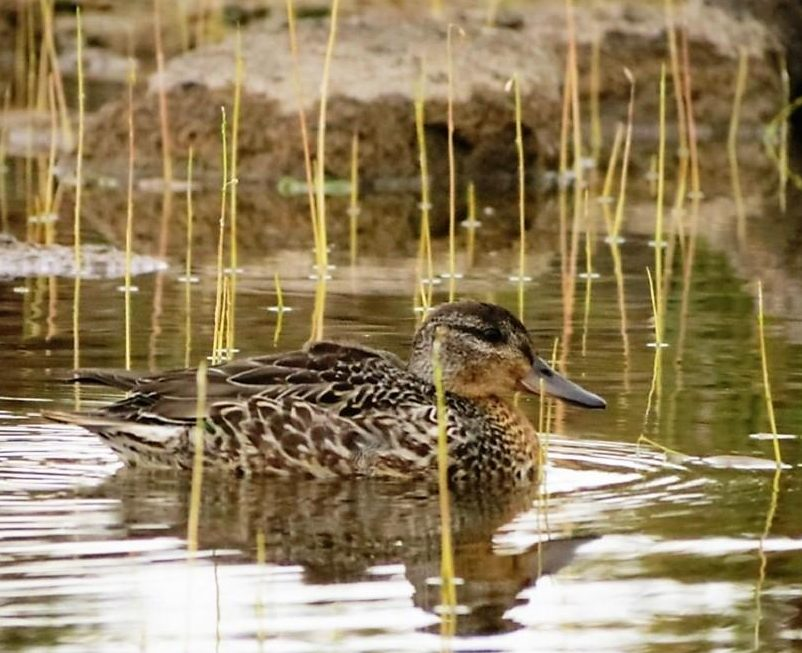 Green Wing Teal, Vancouver Island, BC