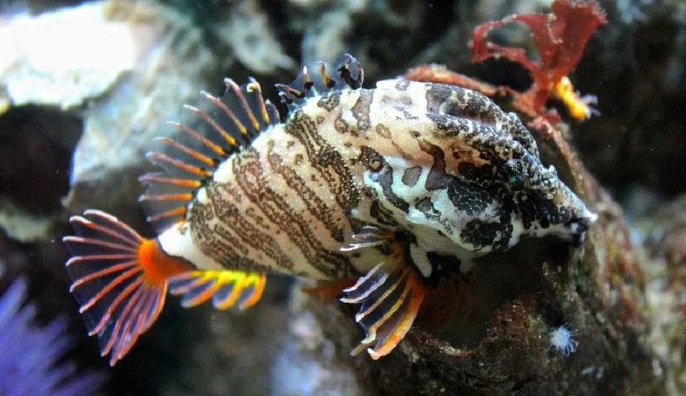 The grunt sculpin is a small fish but it has a very large head, a high forehead and a long snout ending in a small mouth.