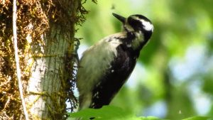 The sound of the hairy woodpecker tapping into a tree is often compared to a drum roll that stops as suddenly as it started.