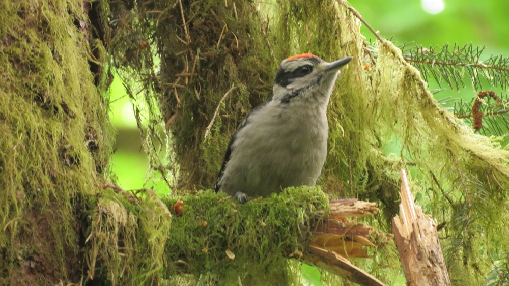 The hairy woodpecker can be found throughout North America from Alaska, south through most of Canada, all of Vancouver Island, the United States and further south into mountainous parts of Mexico and Central America.