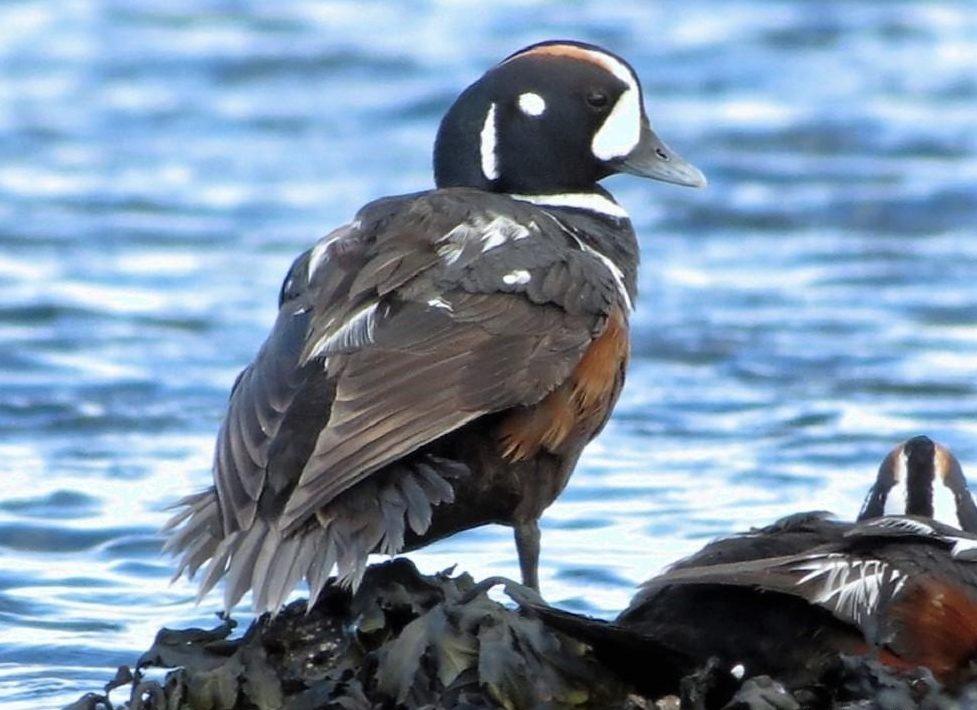 Harlequin Ducks, Vancouver Island, BC
