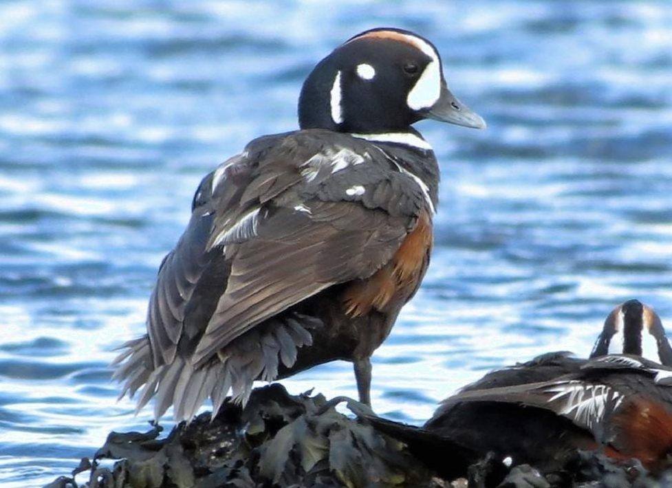 Harlequin Ducks spend most of their life in coastal marine areas. During winter, these ducks gather at traditional sites along the coast to feed in the winter seas. But in the spring they leave the coast and head up rivers and streams to breed.