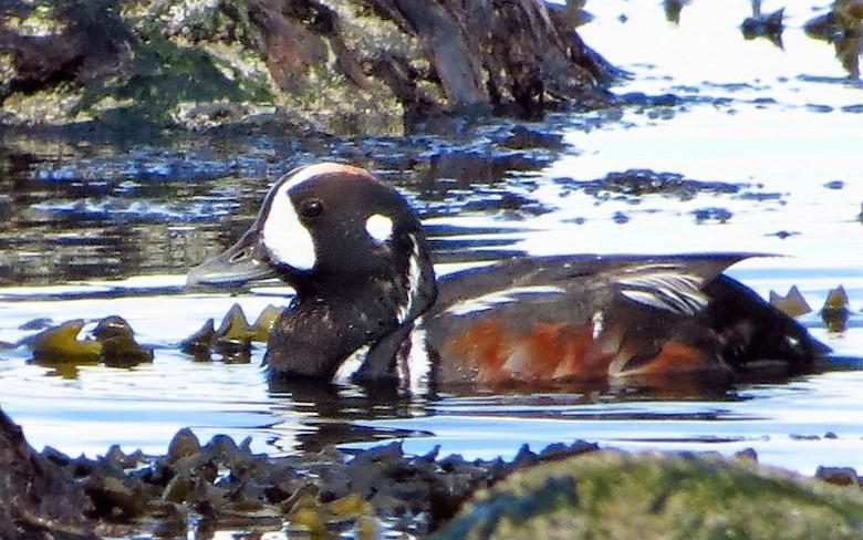 The Harlequin Ducks are a small, uncommon sea duck. Although, on the south coast, there is a large population of them.