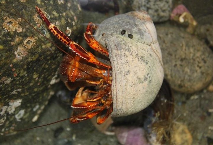 The hermit crab has two pairs of antennae and round eyes on the ends of eye stalks. Hermit crabs have 10 legs, but only 6 legs show. These front 6 legs are known as walking legs. Hermit crabs keep their 4 back legs inside their shell. The back legs are much smaller than the walking legs.
