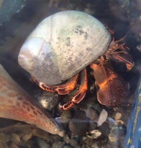 The hermit crab is a land or water dwelling crustacean. Unlike true crabs, hermit crabs have soft, vulnerable abdomens. For protection from predators, many hermit crabs seek out abandoned shells, usually snail shells to live in.