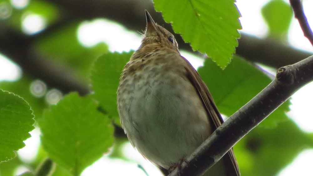 The hermit thrush is quite similar to the Swainson's thrush and they are sometimes hard to tell apart. They typically breed in conifer dominated forests, usually in areas of swamps and thick brush.