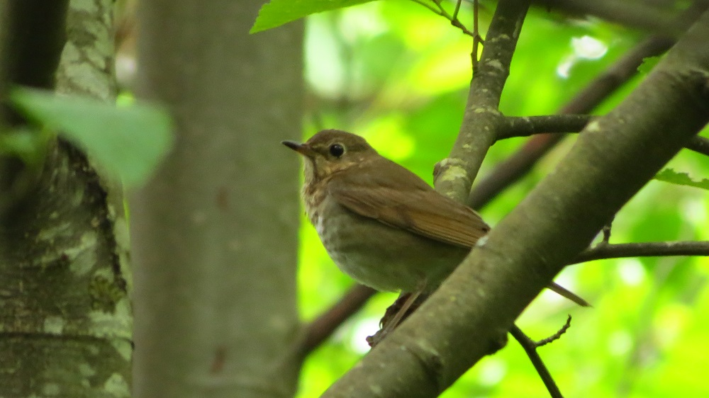 The hermit thrush is quite similar to the Swainson's thrush and they are sometimes hard to tell apart. They typically breed in conifer dominated forests, usually in areas of swamps and thick brush