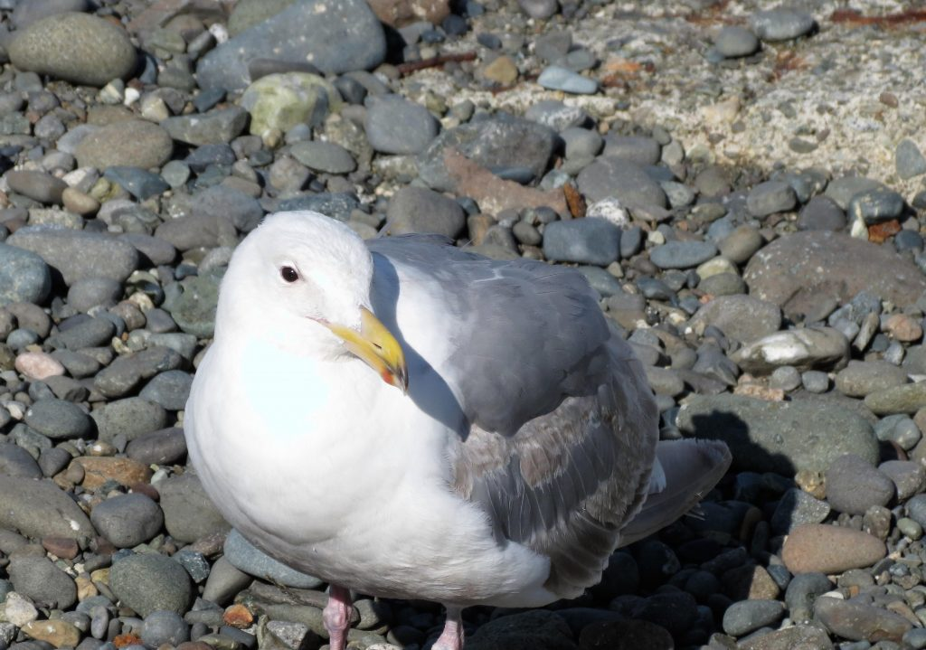 The Herring gull is a very social birds and prefer to nest in colonies. Once a colony is well established, they are faithful to it and reluctant to settle elsewhere.