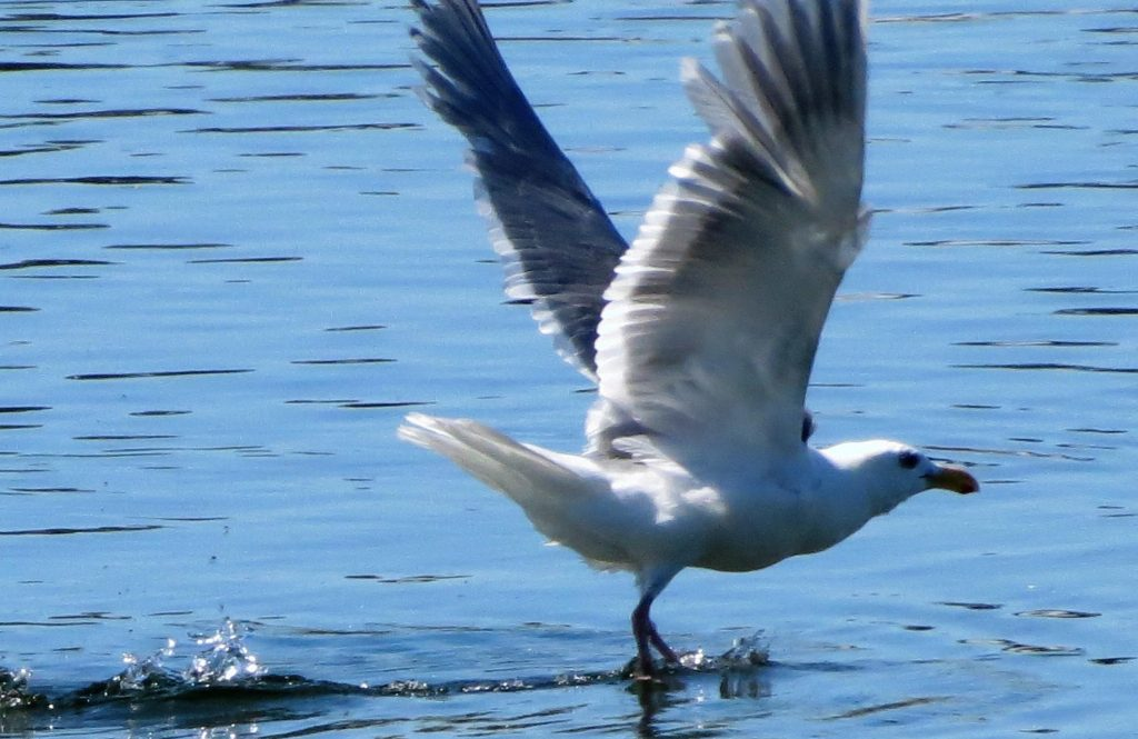 The Herring gull nests in a variety of sites, but always near a body of water. On offshore islands, they frequently occupy flat ground. On the mainland, however, they tend to nest on cliffs