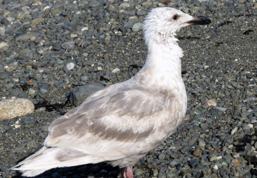 The Herring gull is one of the most widespread species in Canada. Indeed, their breeding range includes every province and territory in Canada.