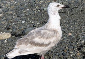 Herring Gull, Gulls , Vancouver Island, BC Coastal Region, Pacific Northwest