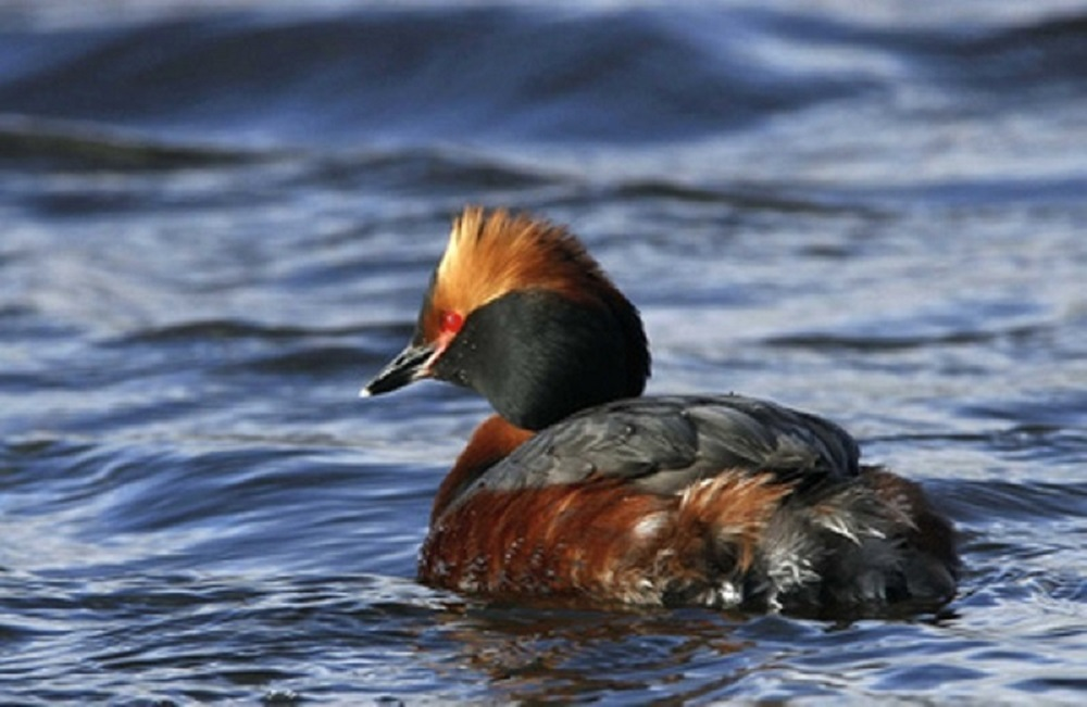 Horned Grebe, Seabirds, Birds, Vancouver Island, BC Coastal Region, Pacific Northwest