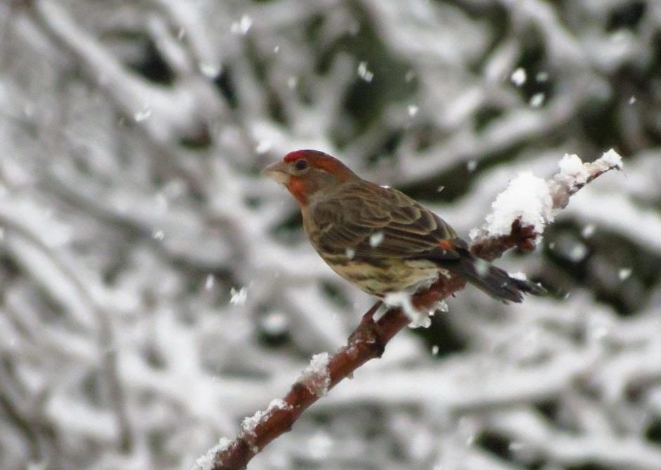 The house finch is a common site at feeders all over Vancouver Island, they add such a flash of color amongst the browns and grays.