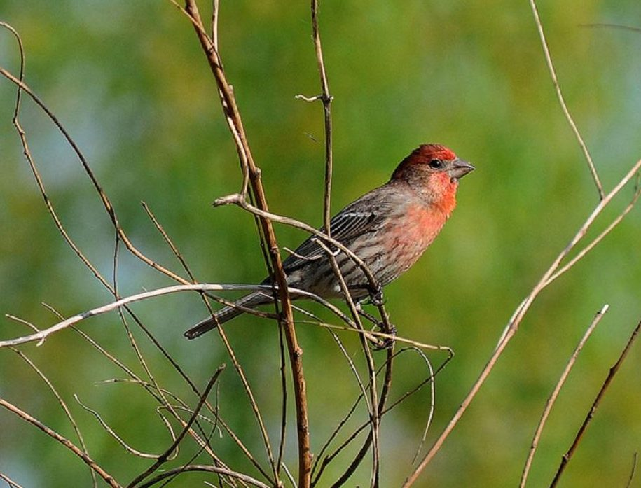 A house finch is a slender, sparrow-sized bird up to 14 cm long with short, thick bill and square tipped tail. The male has red crown, chest and rump. Its back, wings and tail are brown. The female is grayish brown overall with blurry streaks on the breast and sides.