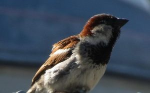 The house sparrow is a small songbird with a conical bill and a chunky body. Males have a grey crown, black bib, streaked brown upper parts and grayish white underparts, females are a grey buff with brown wings.