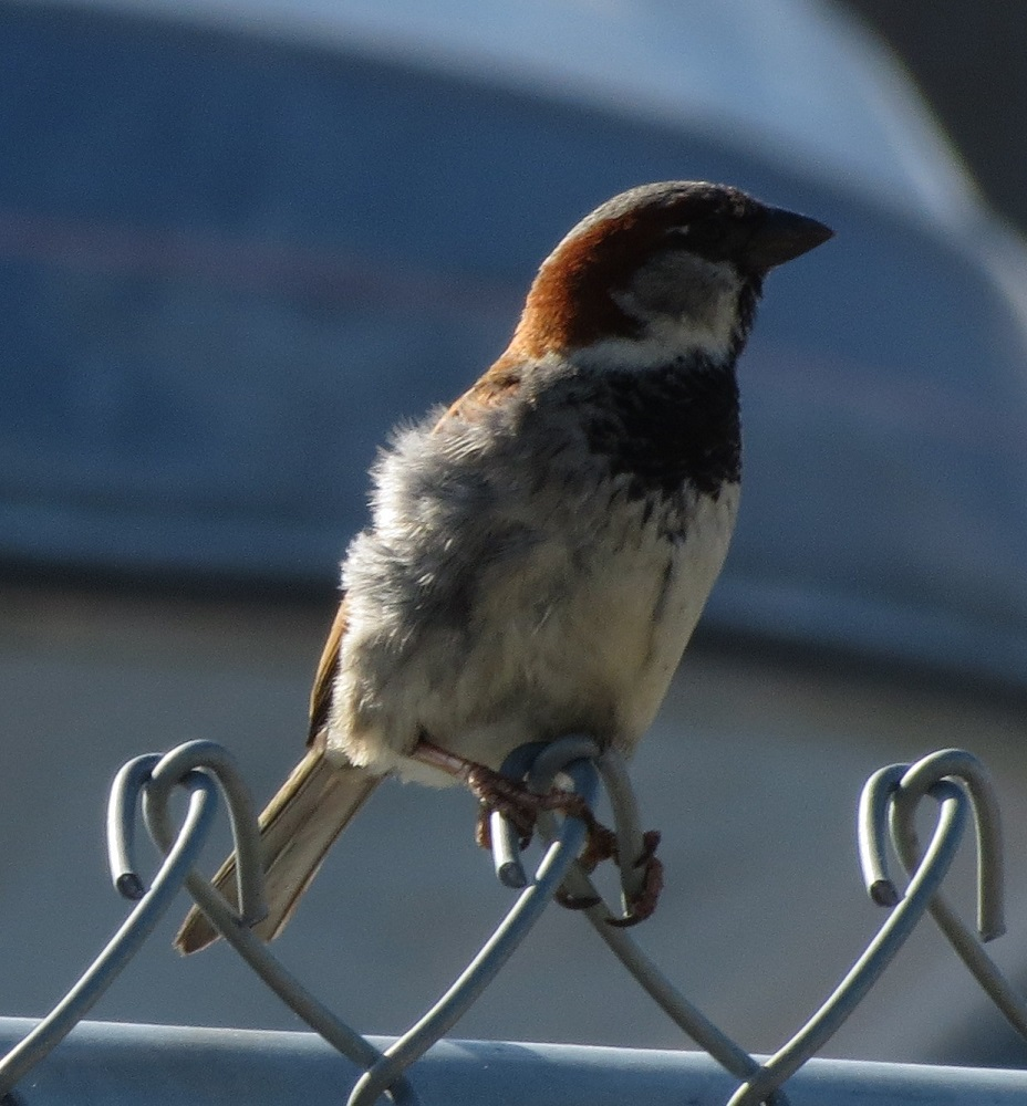 House Sparrows were introduced around 1850 to New York city. From there they spread across North America reaching Vancouver Island 30 years later, around 1880. They are not related to North American sparrows and are in fact related to the African weaver bird.