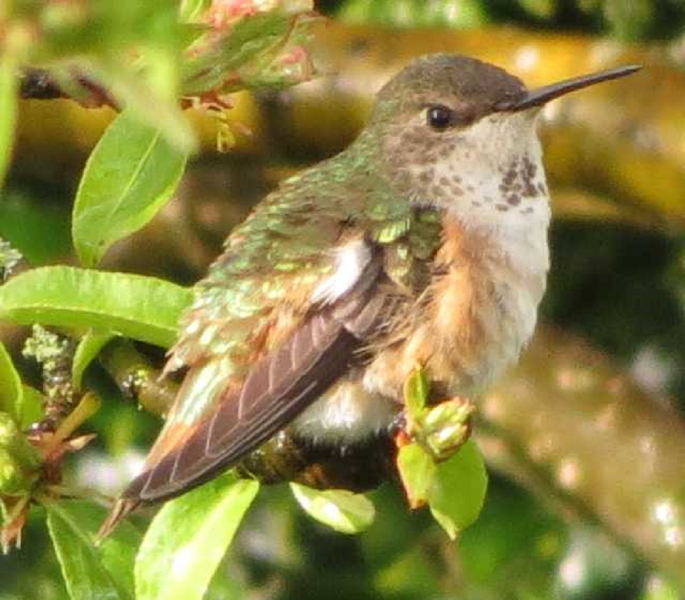 The rufous hummingbirds have one of the longest migration routes of any birds. Some of them go for more than 2,000 miles and that is only one way. They have to be very strong and well fed in order to be able to make it this type of distance annually.