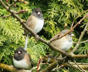 The junco is also known as snowbirds because they suddenly appear during winter in areas where winter feeding stations can be found.