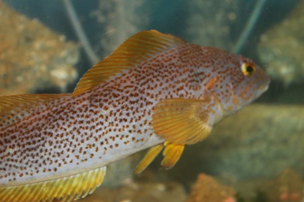 Kelp greenling feed on crustaceans, brittle stars, mollusks and any other small fish they can fit into their mouths on.