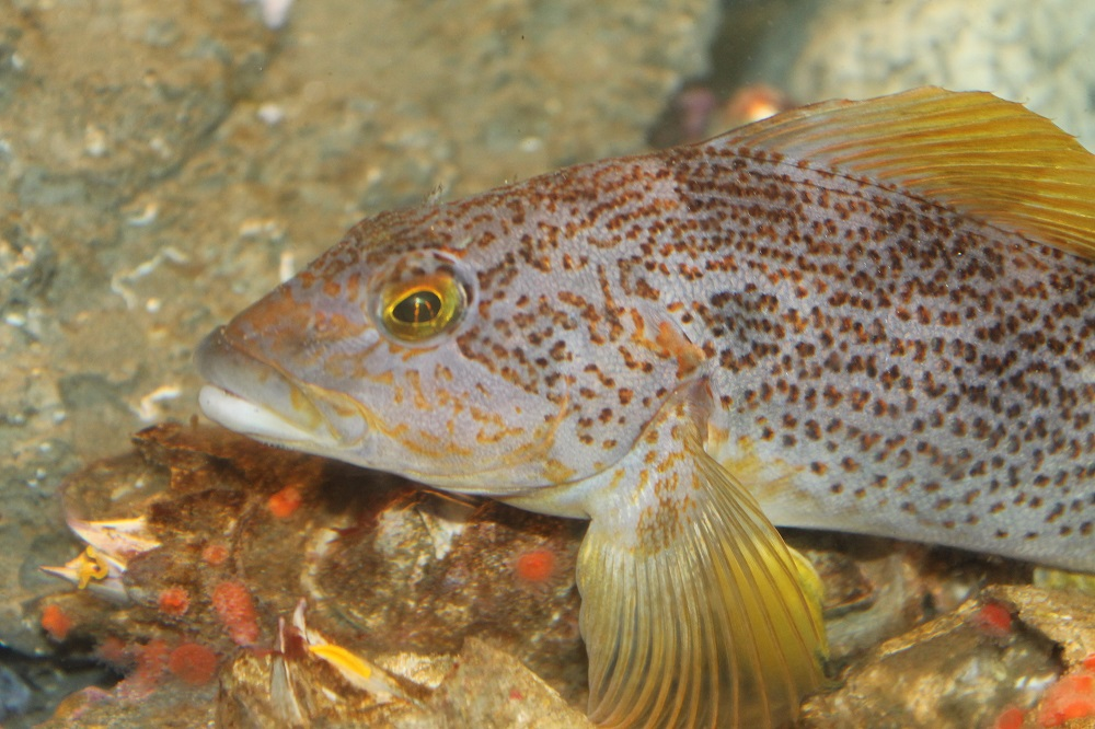 The Kelp Greenling is quite often caught by recreational fishers in the waters along the pacific northwest coast.