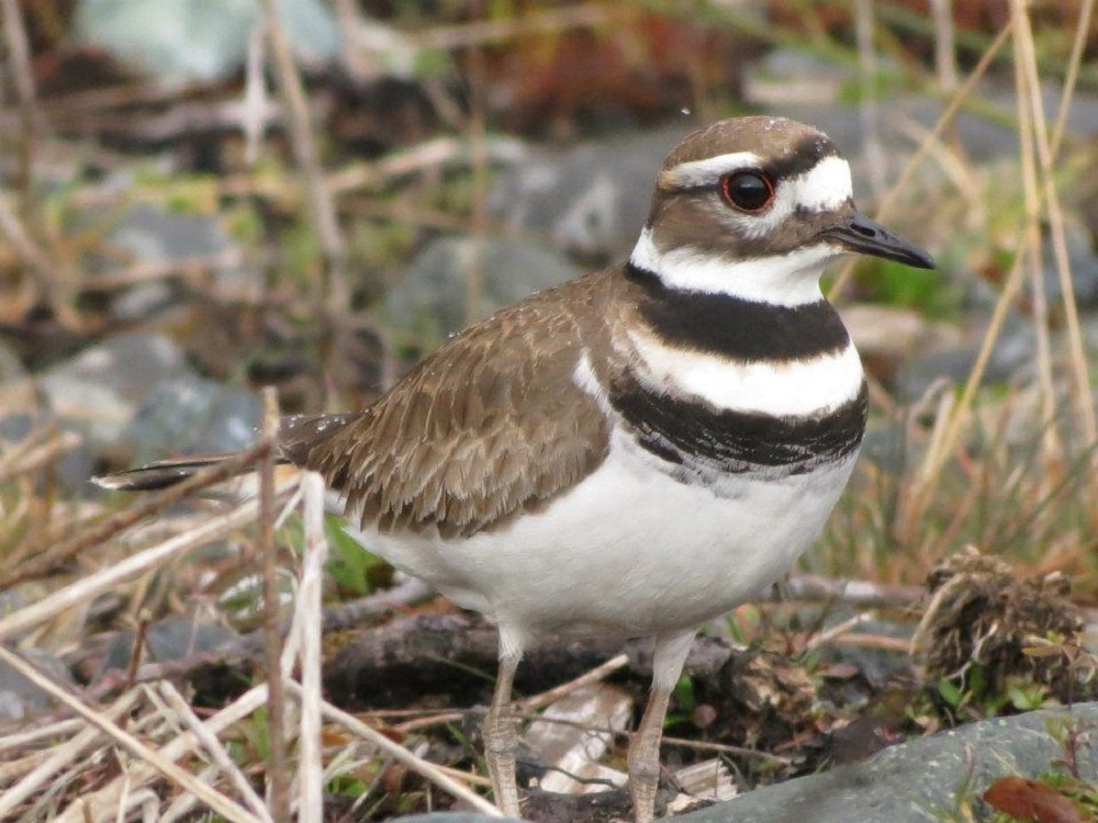 Killdeer will pair up on the nesting grounds, and some nest together for more than 1 season. Both adults help in building the nest, a simple scrape in the ground, lined with grass, weeds and feathers.