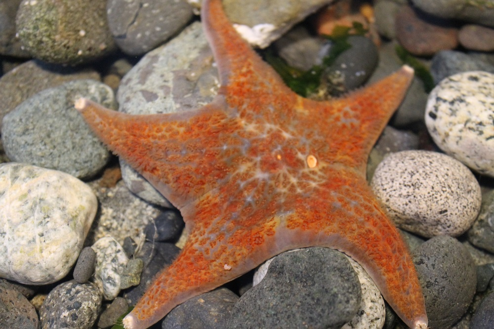 Leather starfish can be found from the inter tidal zone to depths of over 90 meters.