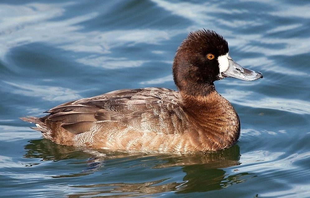 Lesser Scaup, they are a pretty bird, although they are not common on the coast