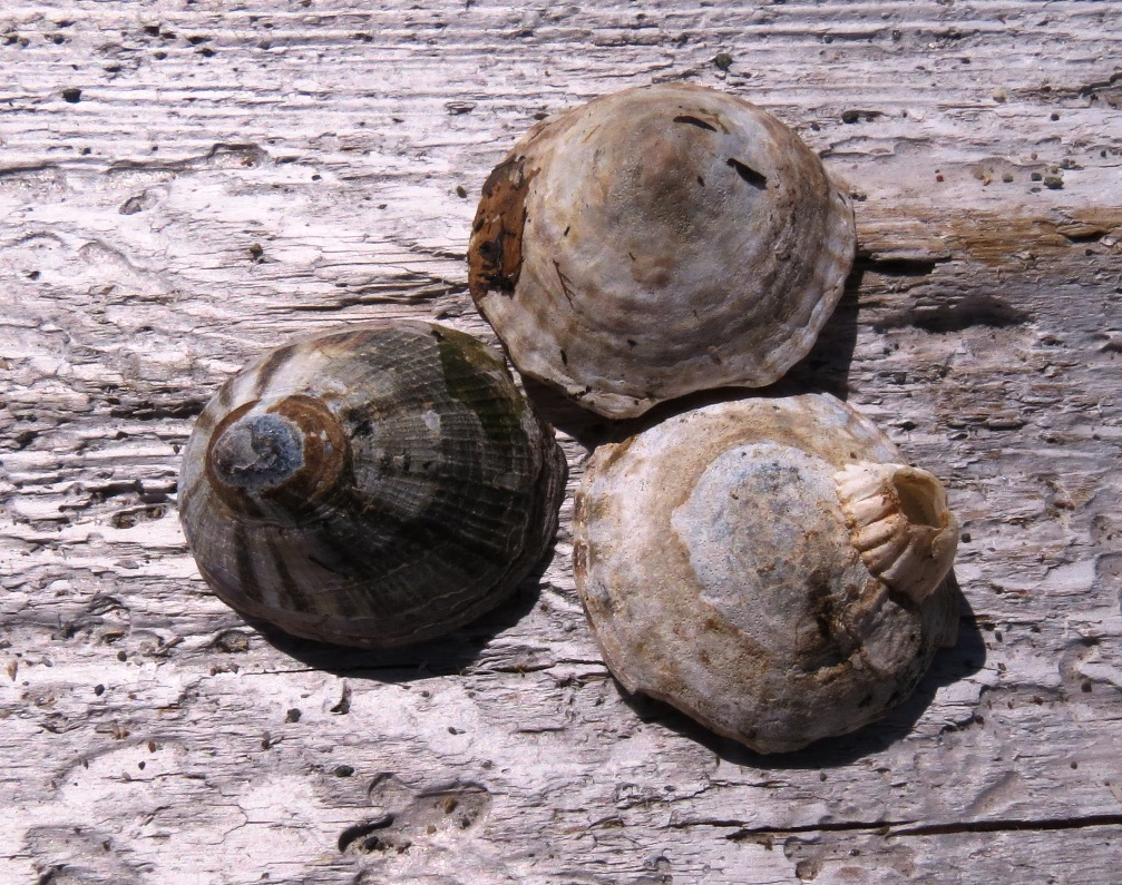 Limpets eat algae that they scrape off rocks with their rough tongues. Each will scrape a pit or groove in the rock to make a bed. After grazing, they goe back to their beds by following the trails it made by scraping the algae. When on the move, a limpet can cover about 5 to 7 cm and hour.