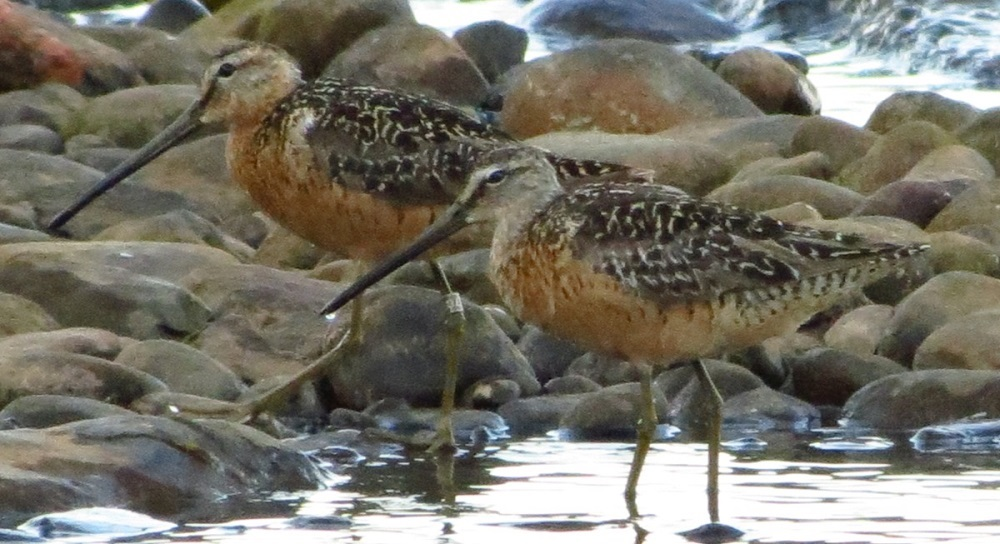 On the breeding grounds, the Long billed Dowitcher will eat insects and insect larvae. On mudflats they also eat mollusks, crustaceans, marine worms, and other aquatic invertebrates.