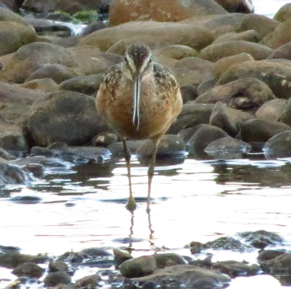 There are many Long Billed Dowitcher that visit the BC Coast and outer islands during the summer months.
