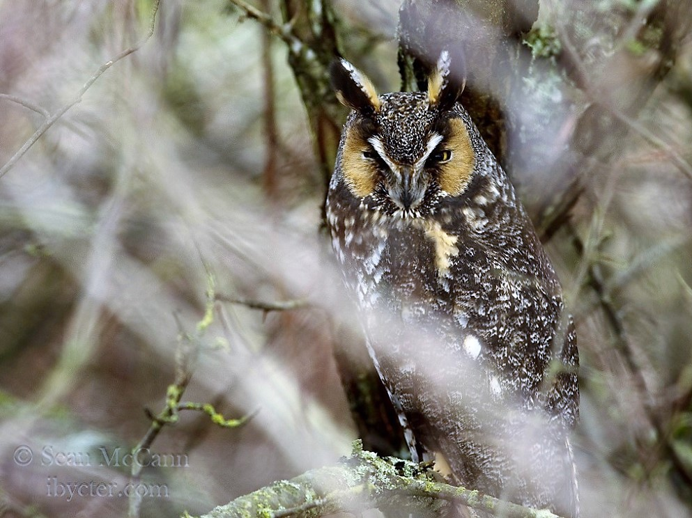 The Long Eared Owl is a medium sized owl, they have long feather tufts on their heads from which they get their name.