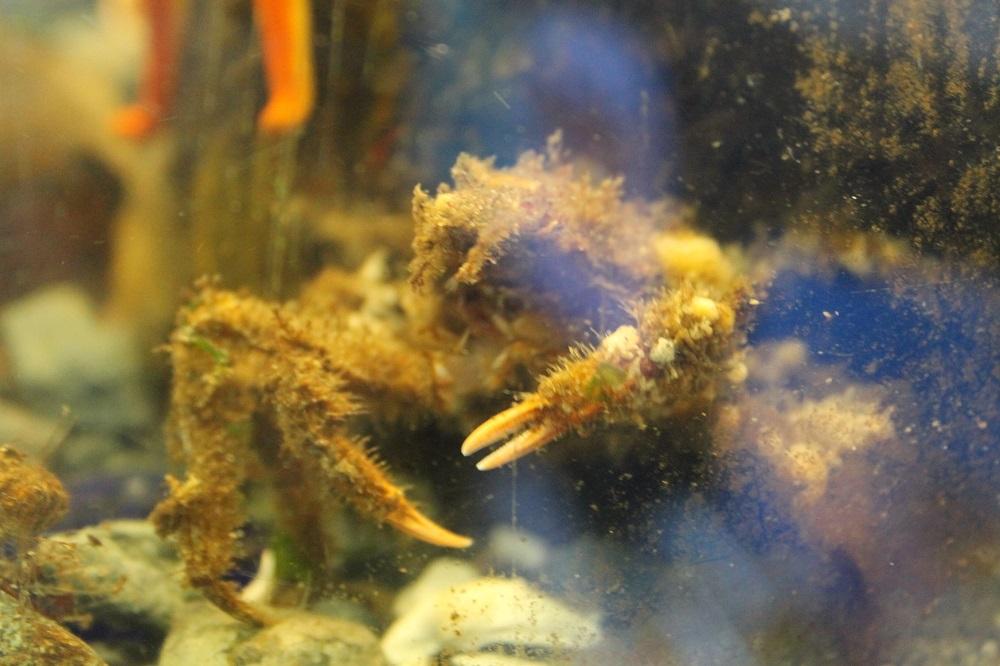 Longhorn Decorator Crab, Vancouver Island, BC