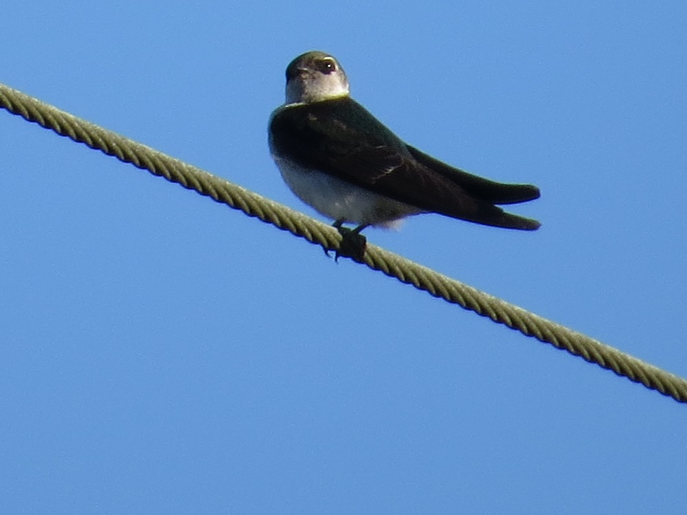 The Violet Green Swallow is quite small and sleek, it is iridescent violet green above and white below. The sides of their heads are white, with the white extending above the eye. Their tails are moderately forked.