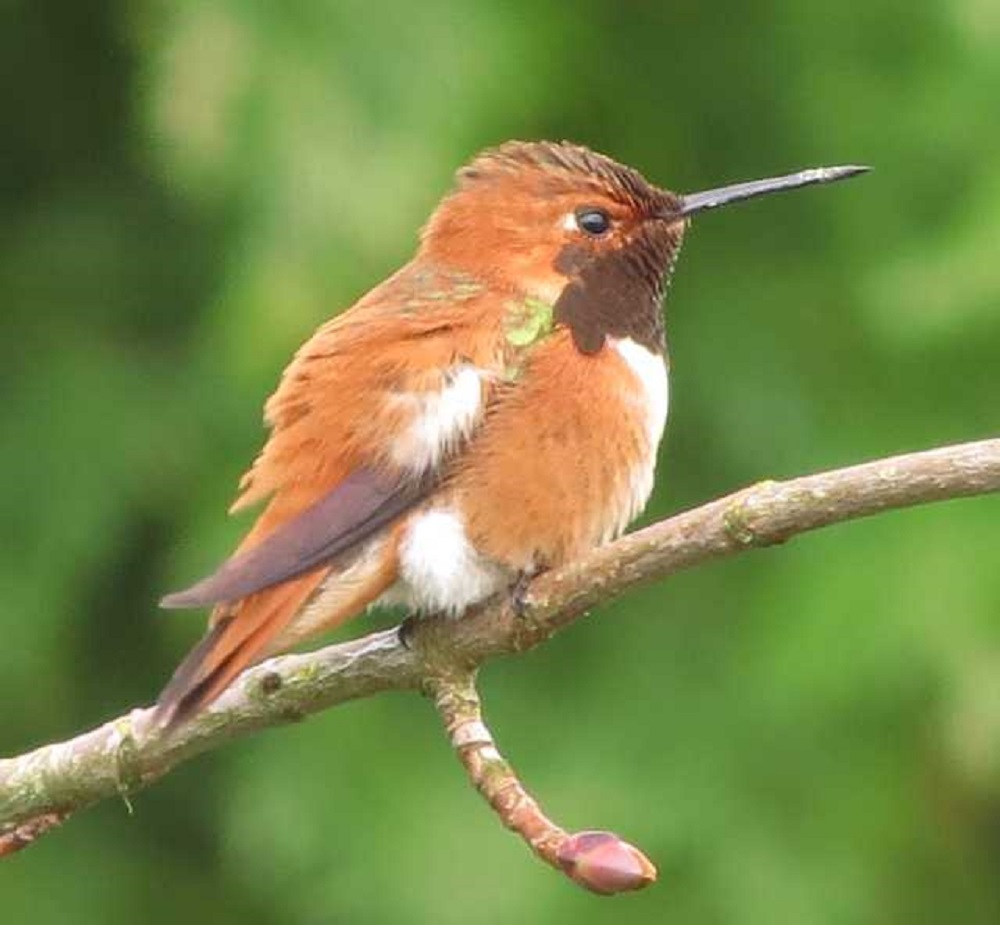 The rufous hummingbird is quite honestly one of the most entertaining bird to observe at our feeders on the BC Coast. We have hundreds return each year to our feeders.