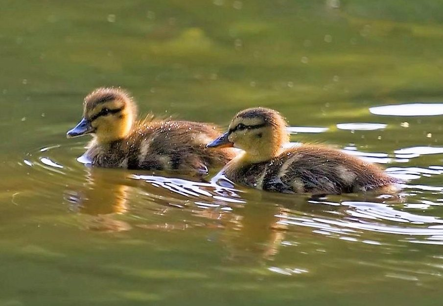 Once on the water, the female leads her brood to feeding areas. The young Mallard Ducks find their own food, which at first consists of small crustaceans and tiny plants.