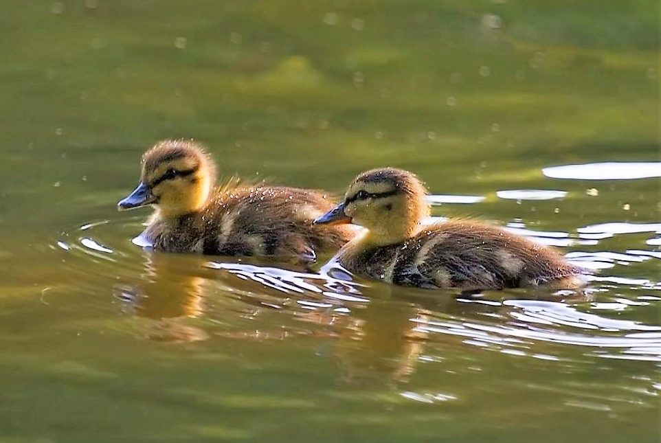 Ducks and geese migrate in family groups for the southbound flight. This is when the young ones learn the path, the good stopover sites along with the good wintering grounds.