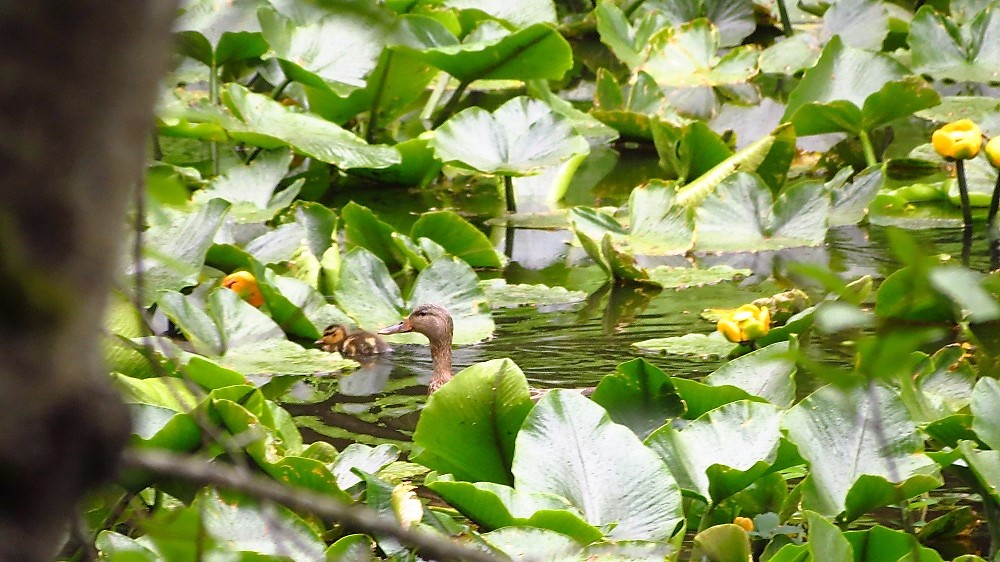 You can Mallards and their ducklings in ponds, ditches and coastal shores during the spring and summer