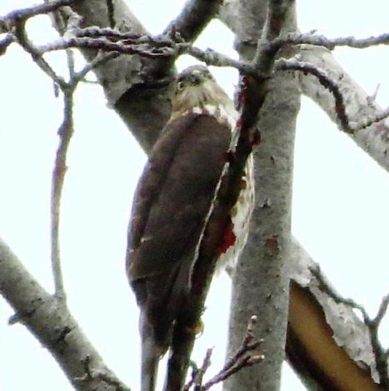 Merlin Falcon, Vancouver Island, BC