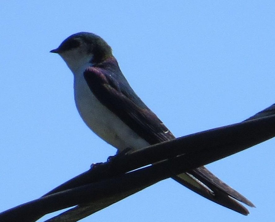 The Violet green swallow is usually the first of the swallows to arrive in early spring but are completely controlled by the weather and follow the insect hatch as they are birds that feed on the wing and exclusively on flying insects.