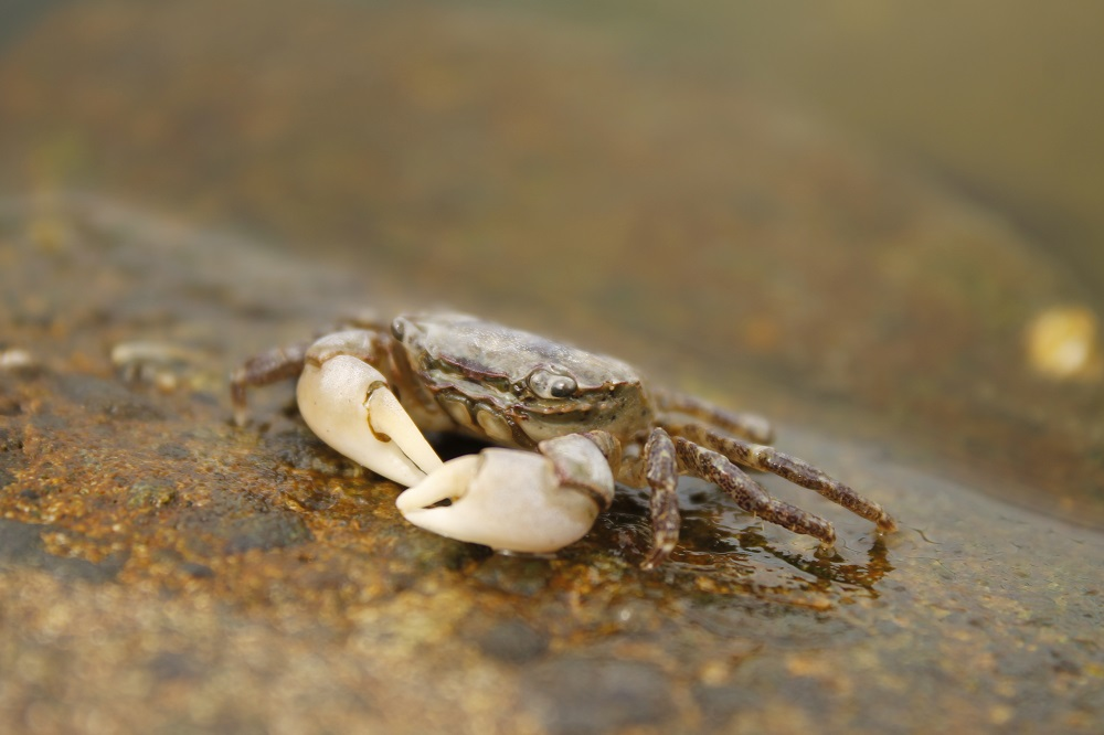 If a young crab looses a limb, it can regrow it quite quickly as they molt quite often, but older crabs could take years to regrow limbs as they molt less often.