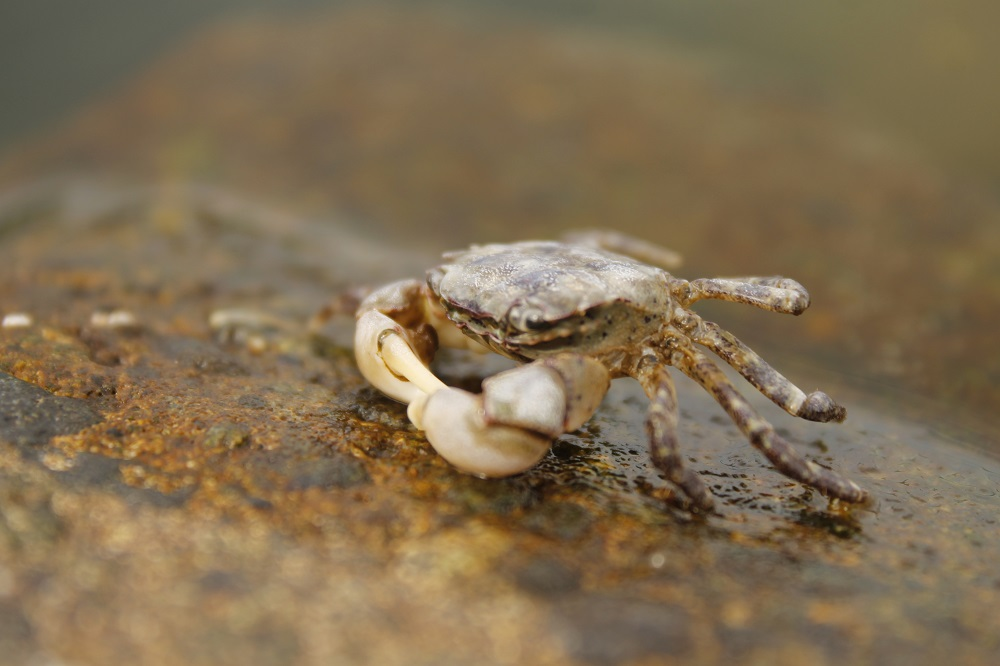 At low tide the Mudflat Crab can be found wandering about the island's mud flats searching for bits of plants or animals to eat. When threatened it will often run to the nearest rock and hide underneath, but if caught it will put up quite a fight with its strong pincers.