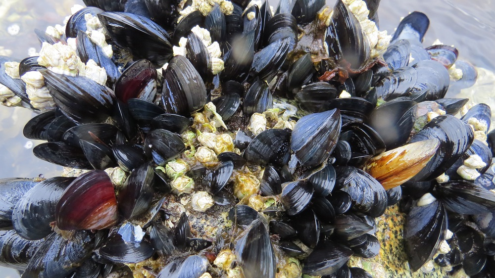 Mussels have bluish black shells that look like a flattened teardrop. The inside of the shell is pearly violet to white in color.