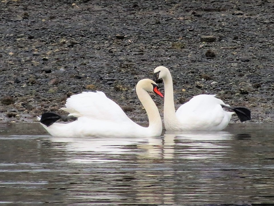 Mute Swans are able to breed at around three years old and they mate for life. A breeding pair will build a nest at the edge of the water out of dried grass, reeds and other plant matter.