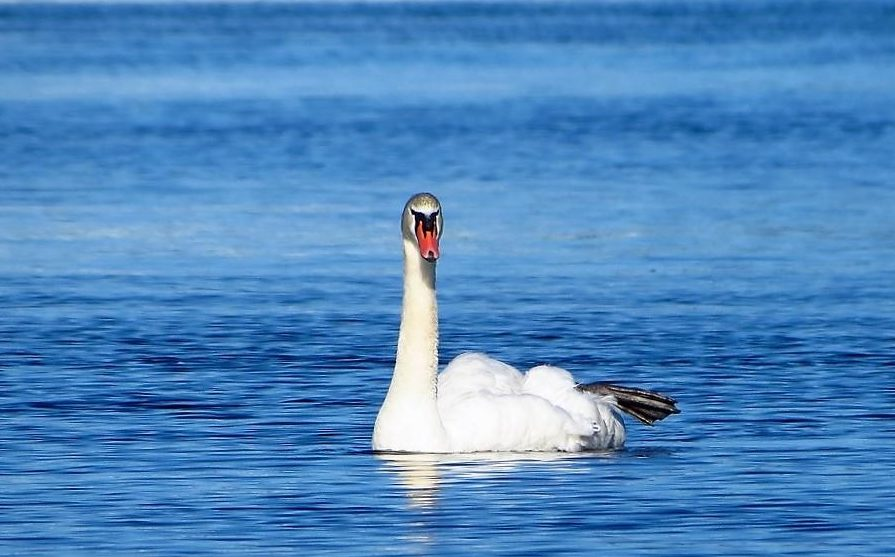 Mute Swans are large birds that are capable of flight but prefer not to fly. Male swans are called cobs, female swans are pens, and young swans are known as cygnets. The mute swan has a long curved neck and an orange bill with a black knob at the base.