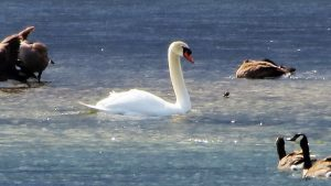 Mute Swans are one of the most beautiful birds on The BC Coast. Its always a pleasure to observe them in the wild.