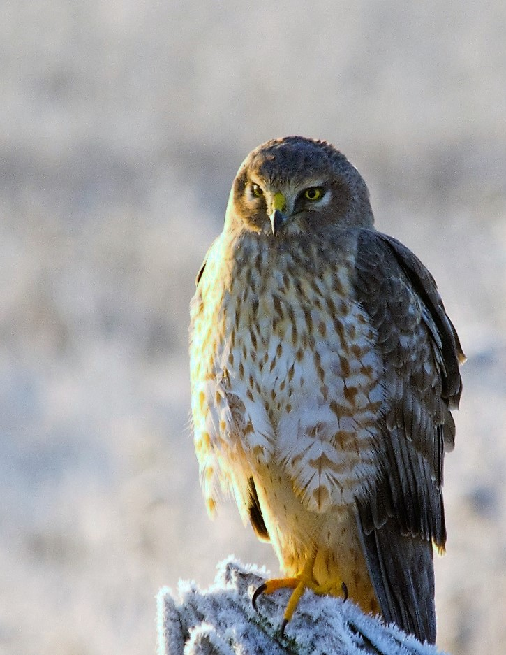 The male Northern Harrier hawk is light tawny grey with a white rump that can be seen when flying, the female is brown above and streaked with brown underneath.