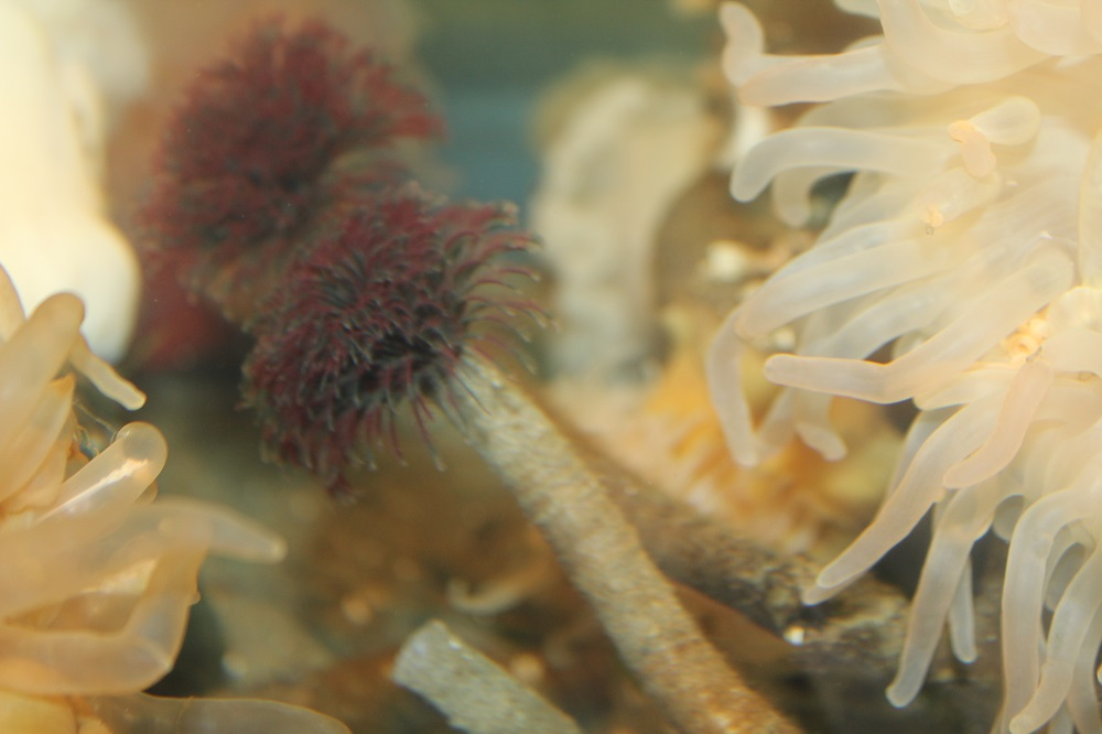 The northern feather duster worm lives in tough brownish to white tubes that can grow to about 25 cm in length. These tubes are made by mucous secretions mixed with sand grains.