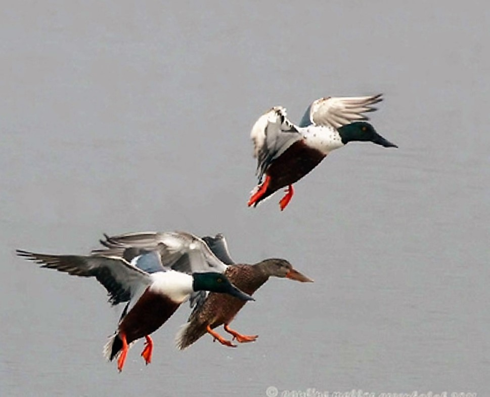 Northern shoveler Ducks breed in the short and mixed grass prairies of Canada and the north central United States. They prefer shallow marshes that are mud bottomed.