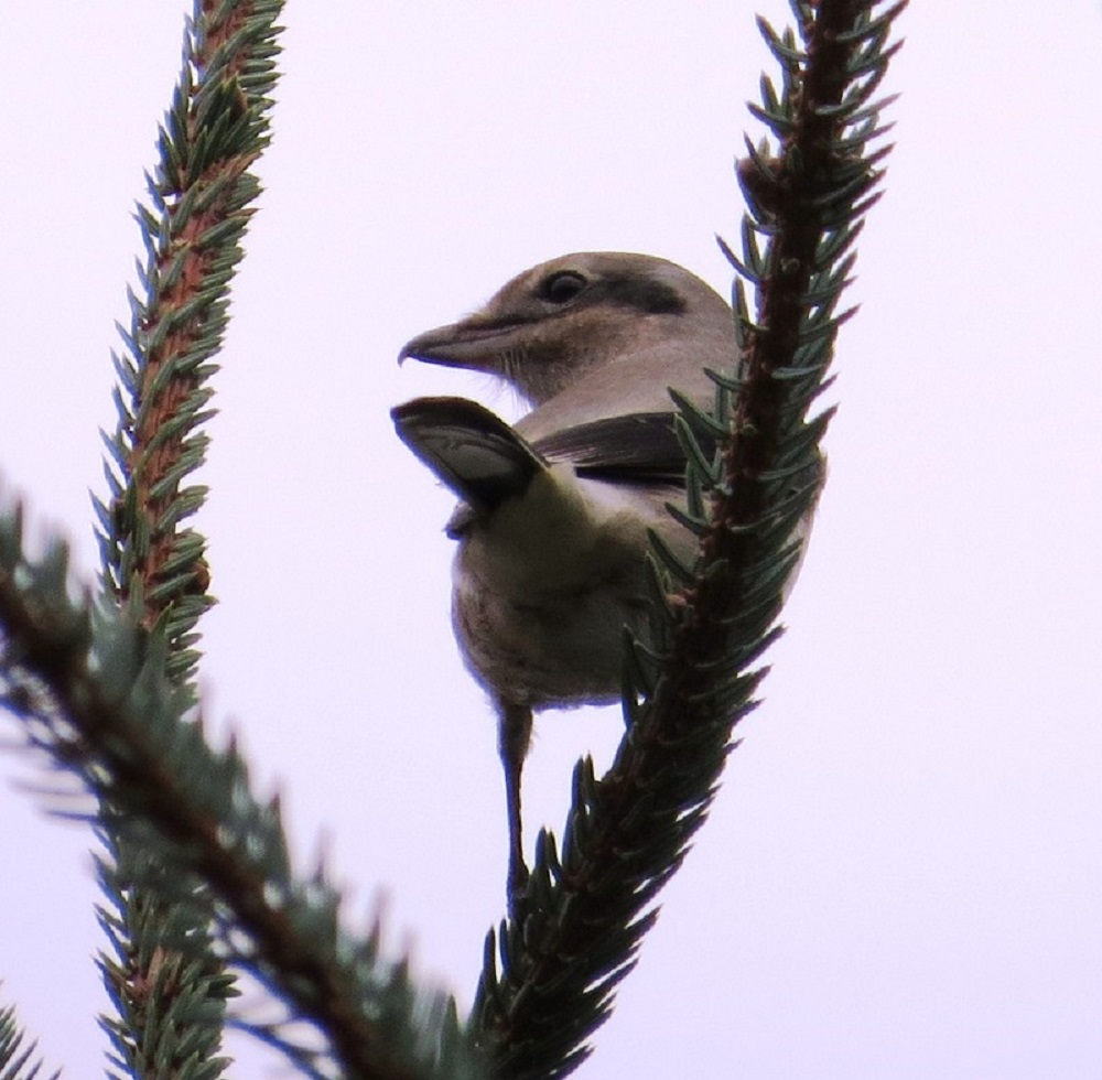 Like other northern birds that depend on rodent populations, the northern shrike movements are cyclical, becoming more abundant in southern Canada and Vancouver Island when northern rodent populations are low.